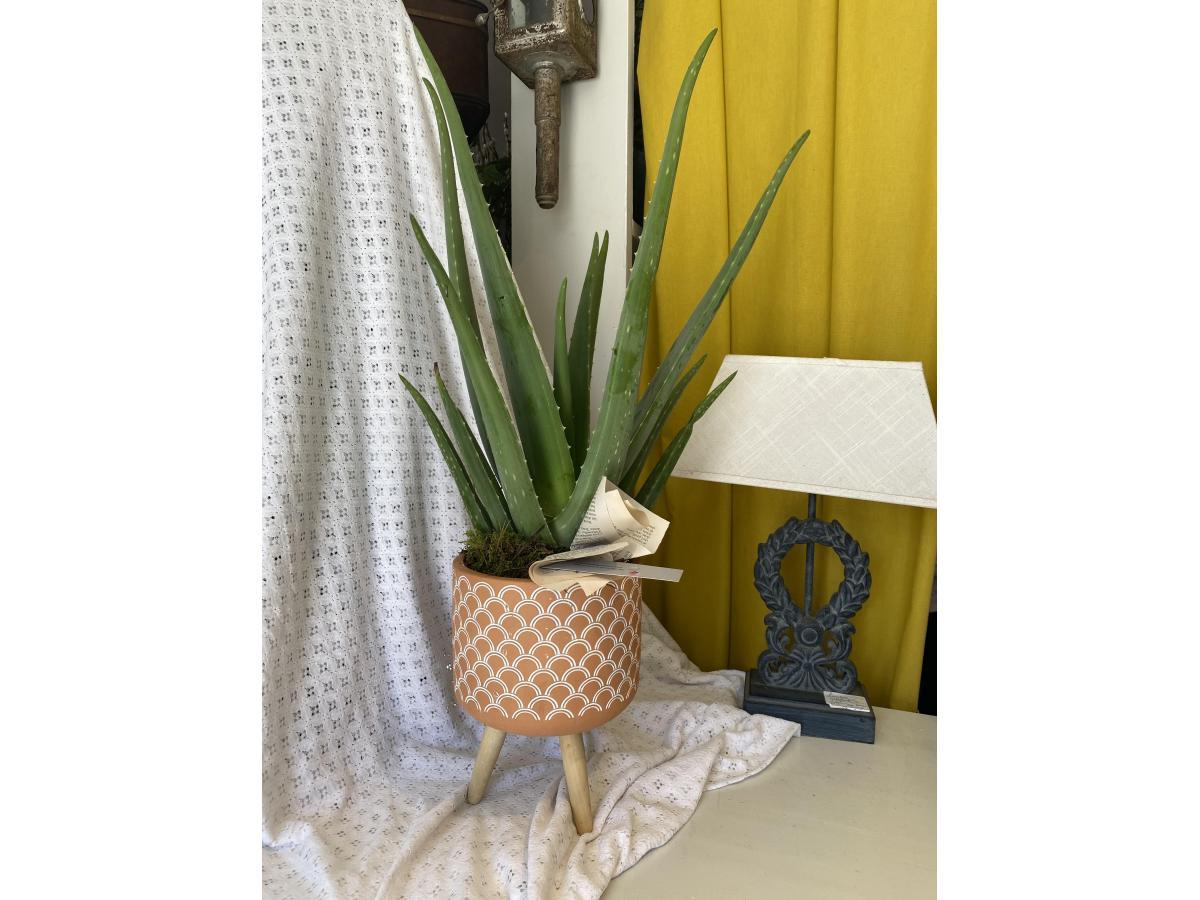 Grand Aloe sur cache pot sur pied