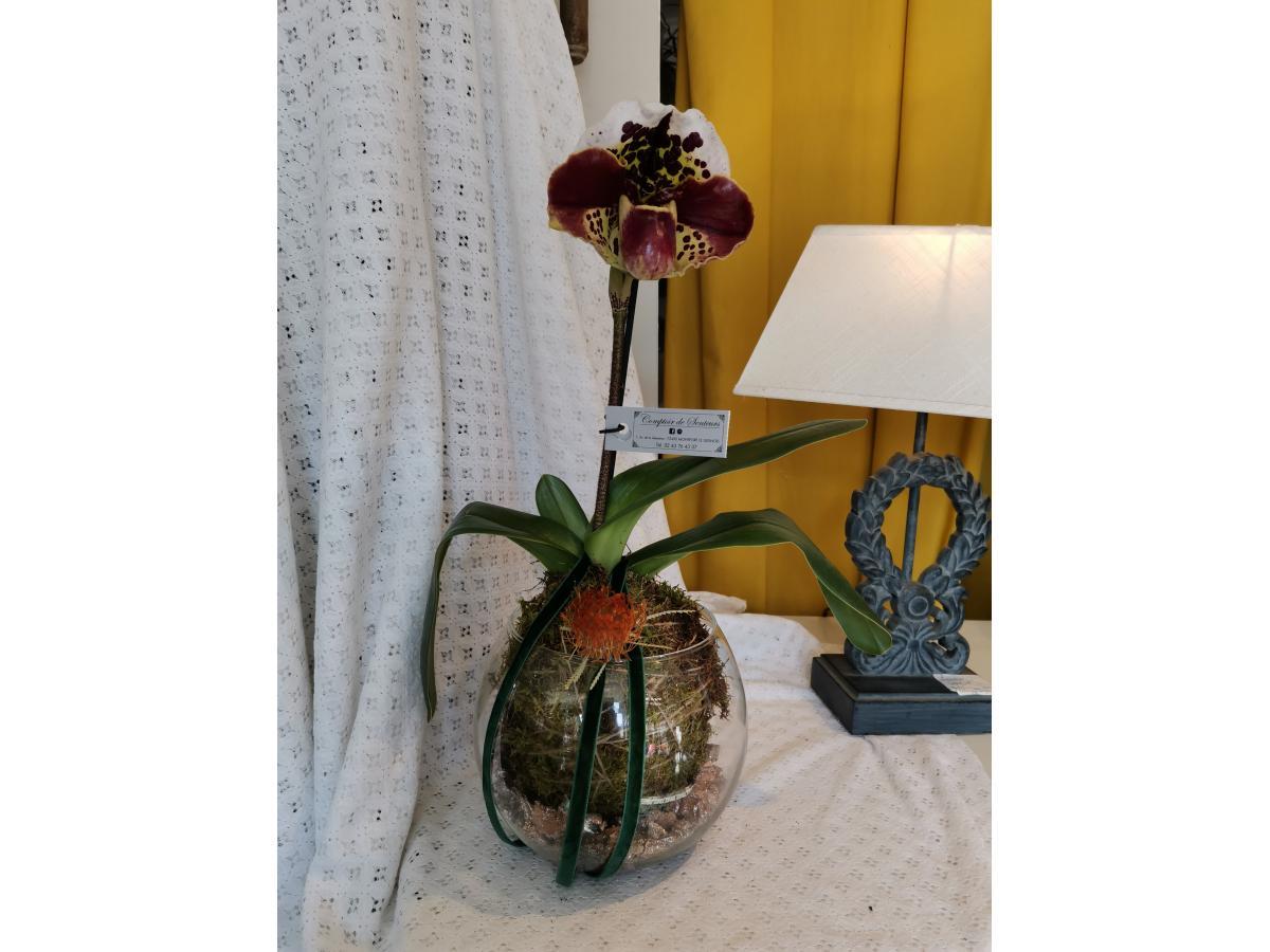 Orchidée Paphiopedilum en tontinage.